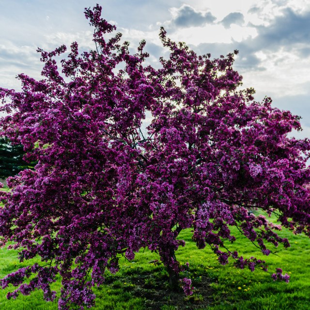 """Lilacs"" stock image"
