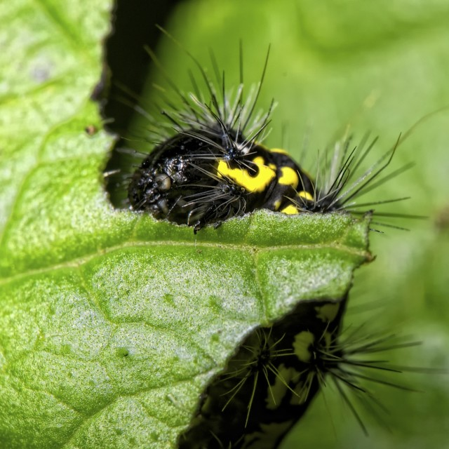 """Caterpillar eating a leaf"" stock image"
