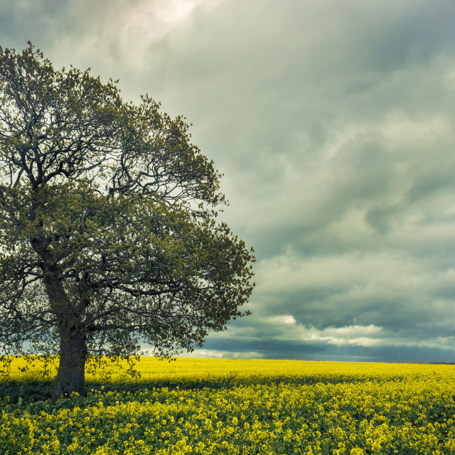 """Tree in golden field"" stock image"