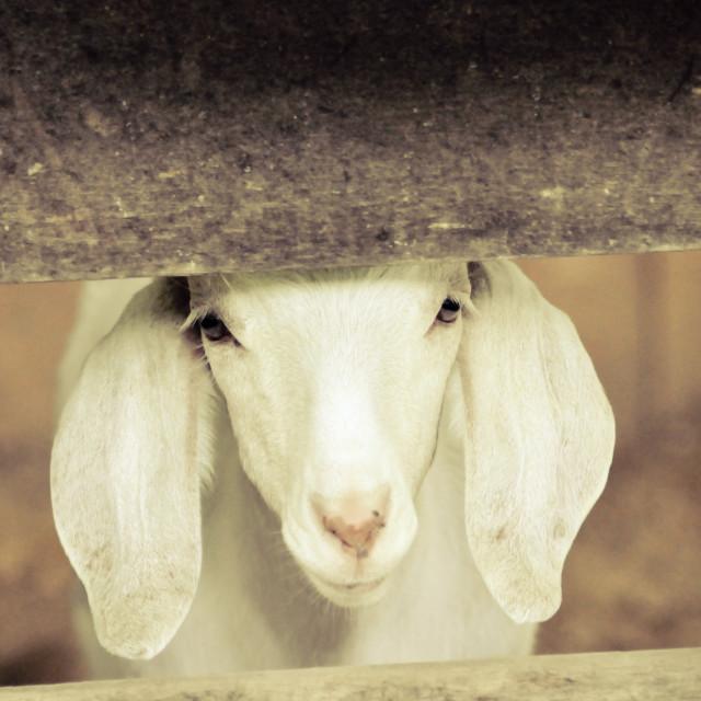 """""""White goat"""" stock image"""