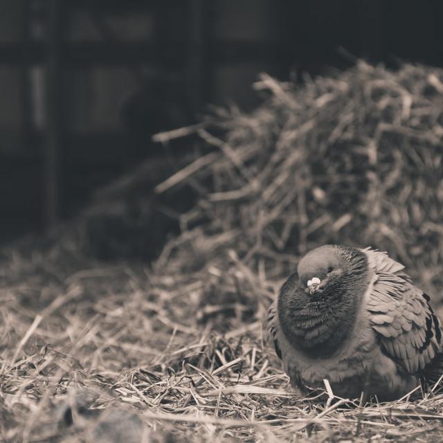 """Barn pigeon"" stock image"