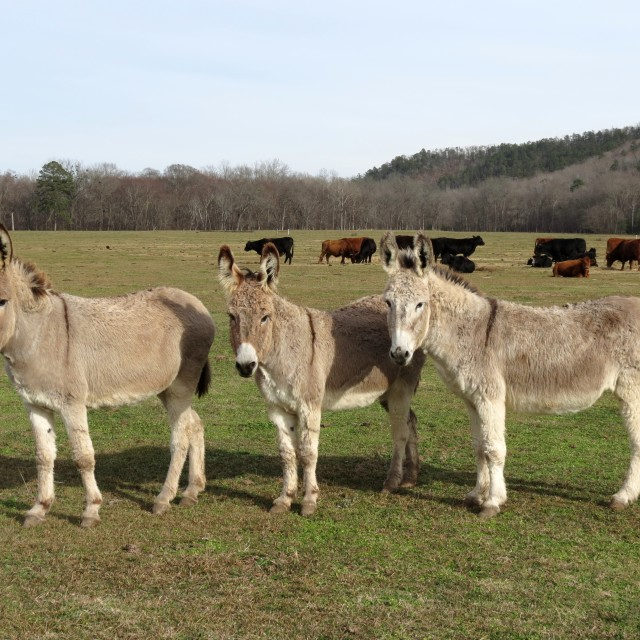 """Three Burros"" stock image"