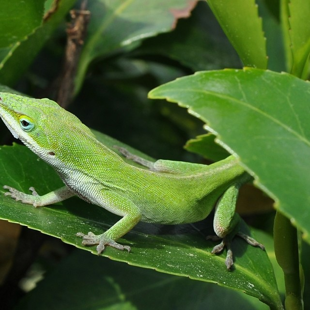 """Green Anole lizard on leaf"" stock image"