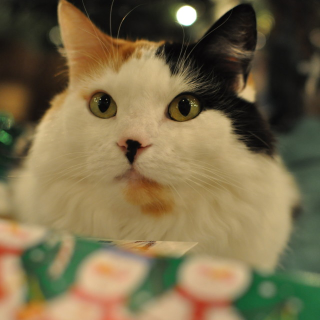"""Christmas Cat"" stock image"