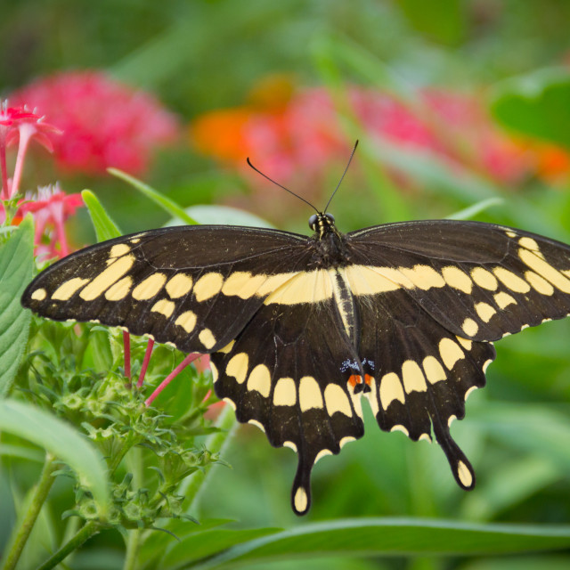 """Spectacular Swallowtail"" stock image"
