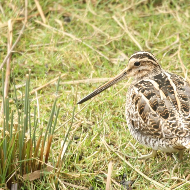 """Snipe, March 2013"" stock image"