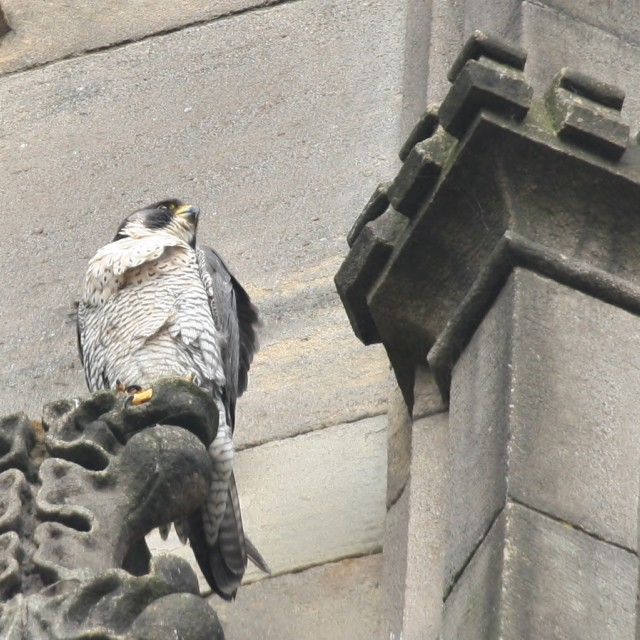 """Peregrine Falcon, Manchester July 2013"" stock image"