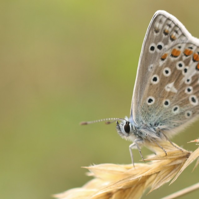 """Common Blue Butterfly, Aug 2013"" stock image"