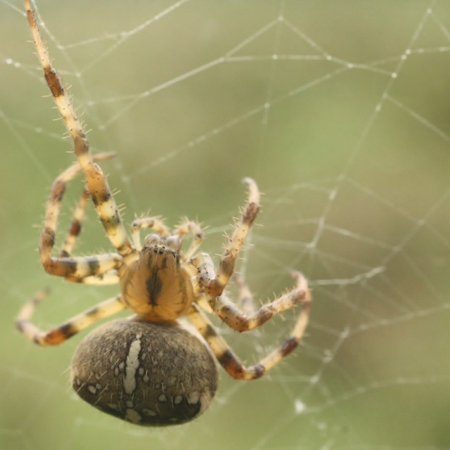 """Garden Orb Spider, Aug 2012"" stock image"