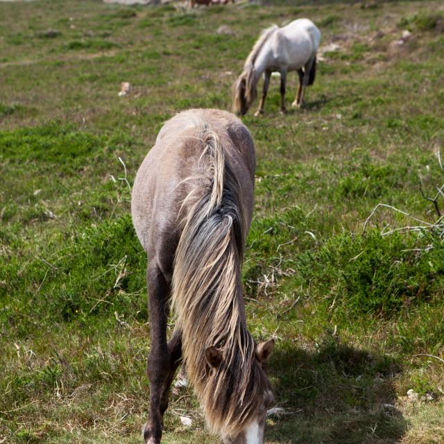 """""""Wild Welsh Ponies"""" stock image"""