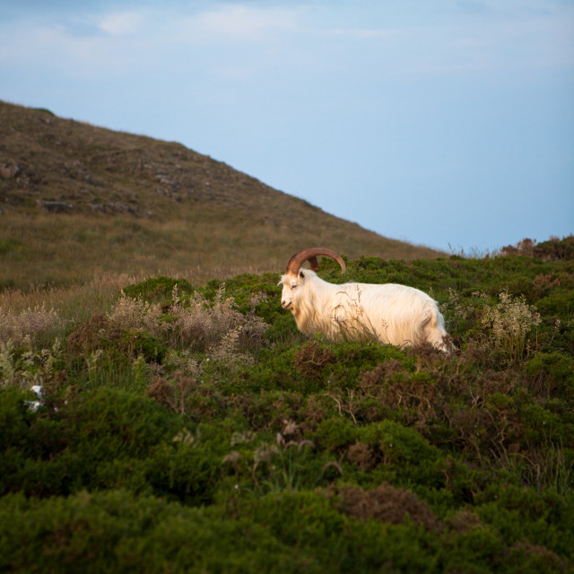 """Welsh Mountain Goat"" stock image"