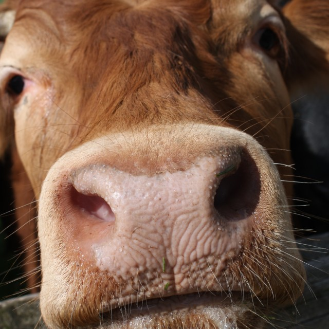 """""""The Curious Cow"""" stock image"""