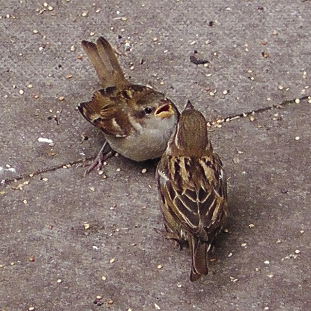 """""""Female House Sparrow and fledgling"""" stock image"""
