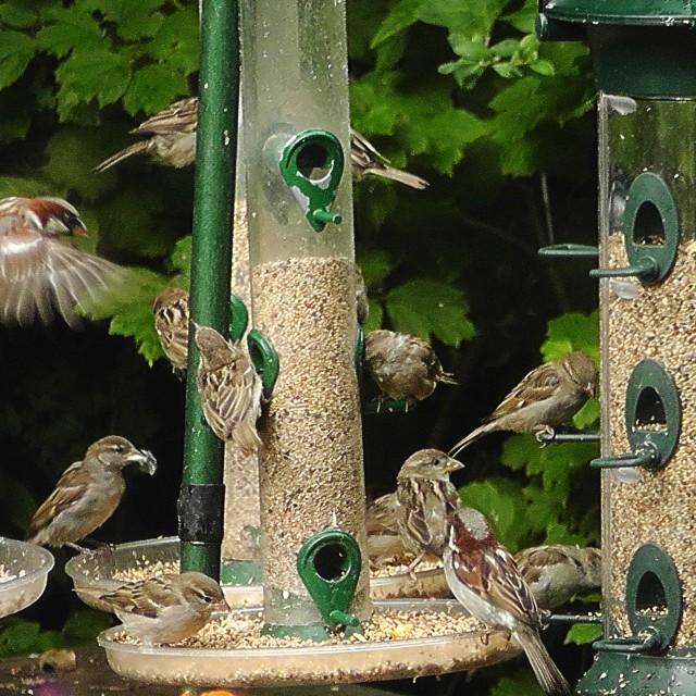 """Sparrows feeding"" stock image"