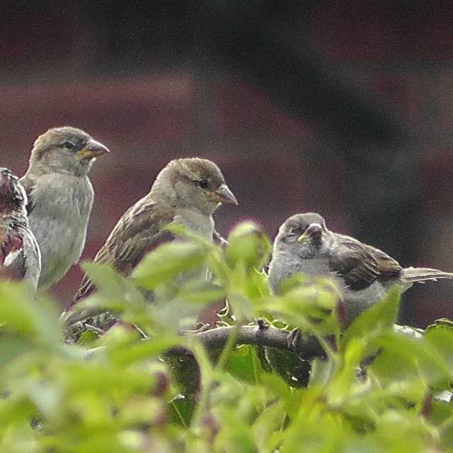 """""""Sparrows in the hawthorn"""" stock image"""