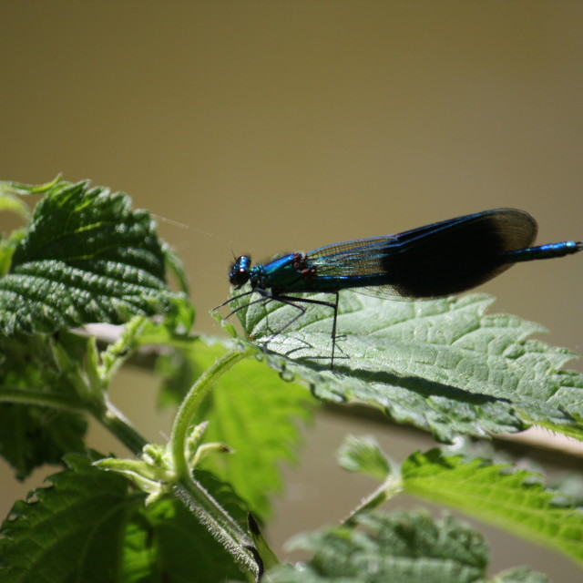 """""""Damsel Fly, River Thames"""" stock image"""