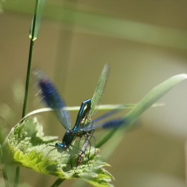 """Damsel Flies Mating"" stock image"