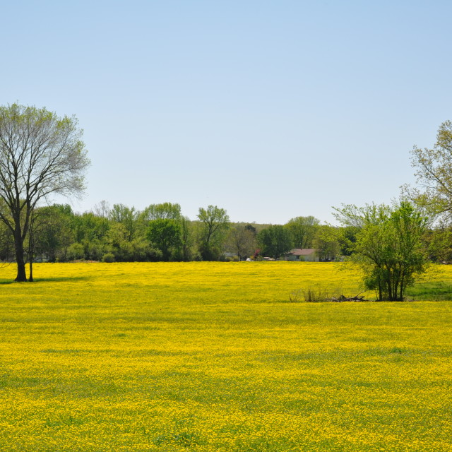 """Yellow Wildflowers in Field"" stock image"