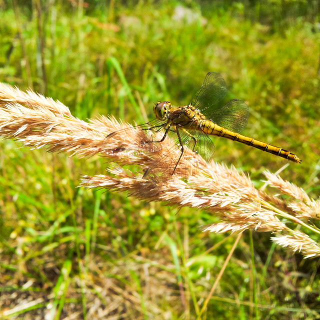 """""""Yellow dragonfly"""" stock image"""