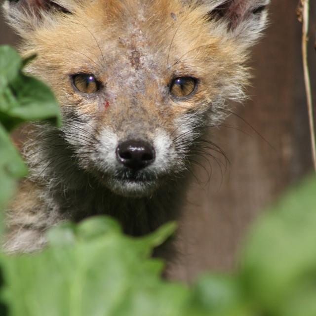 """Baby Fox"" stock image"