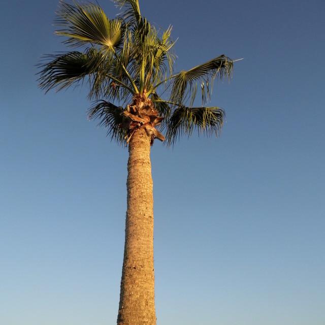 """""""Palm Tree, Paphos, Cyprus"""" stock image"""