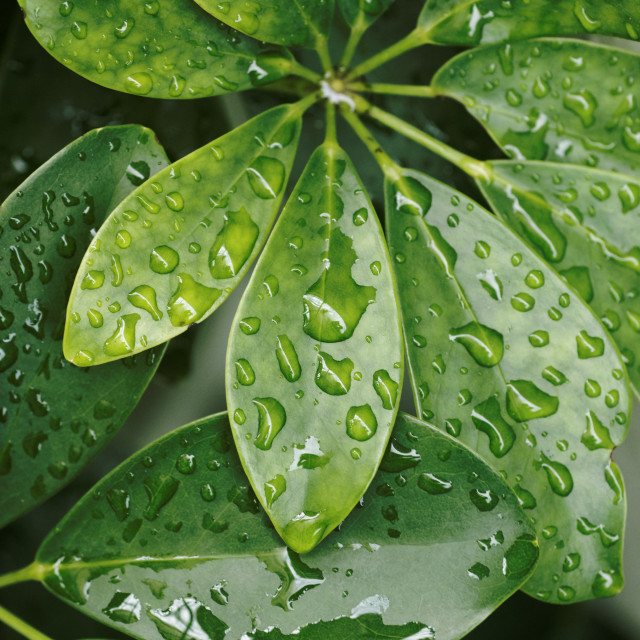 """Green leafs and raindrops"" stock image"
