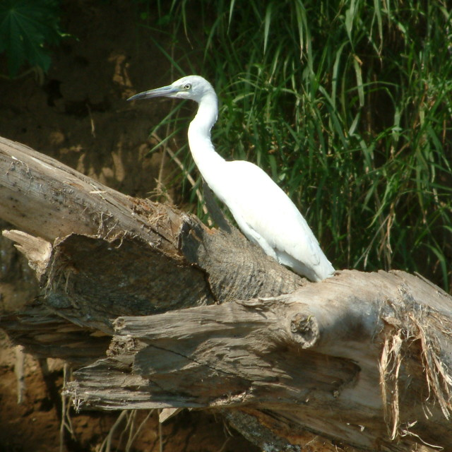 """Costa Rican Egret"" stock image"