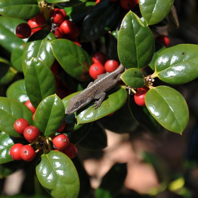 """Lizard in Holly"" stock image"