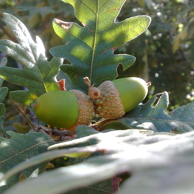 """Acorns"" stock image"