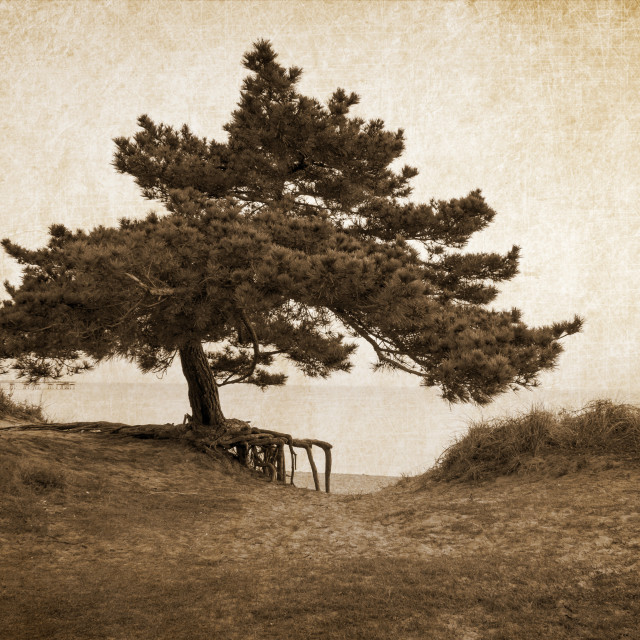 """The Lonely Pine"" stock image"