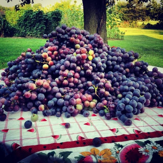 """Grape Harvest"" stock image"