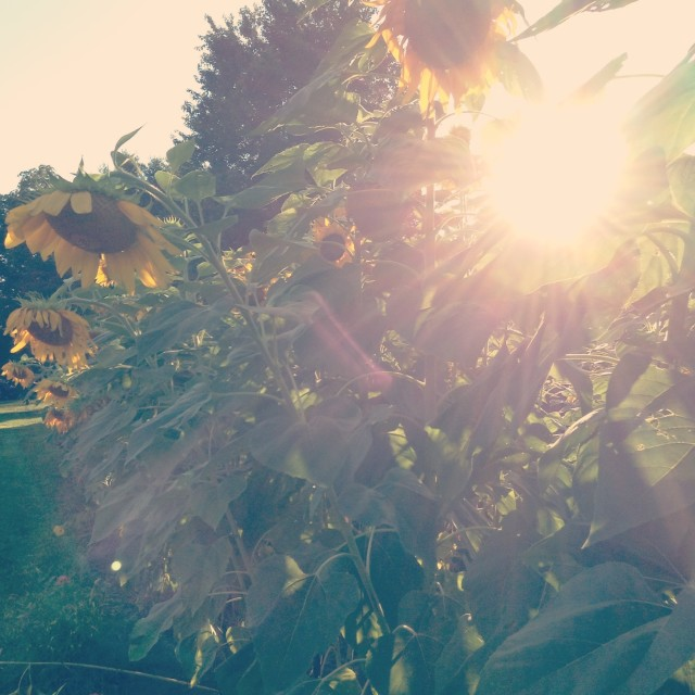 """Missouri Sunflowers"" stock image"