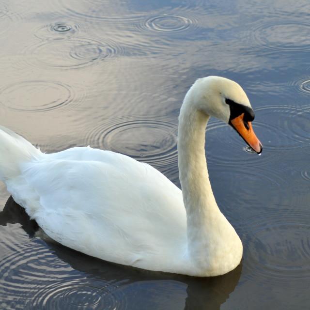 """Mute Swan Rain Drops"" stock image"