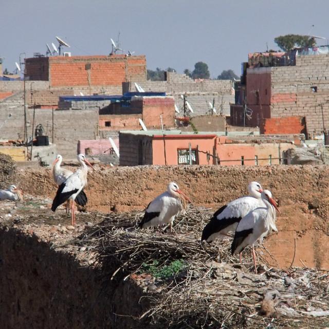 """""""Storks, Marrakesh"""" stock image"""