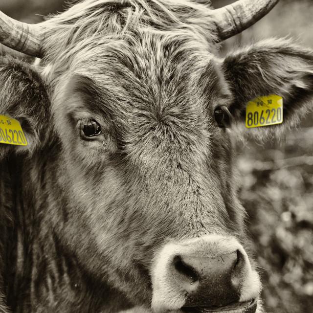 """Bovine"" stock image"