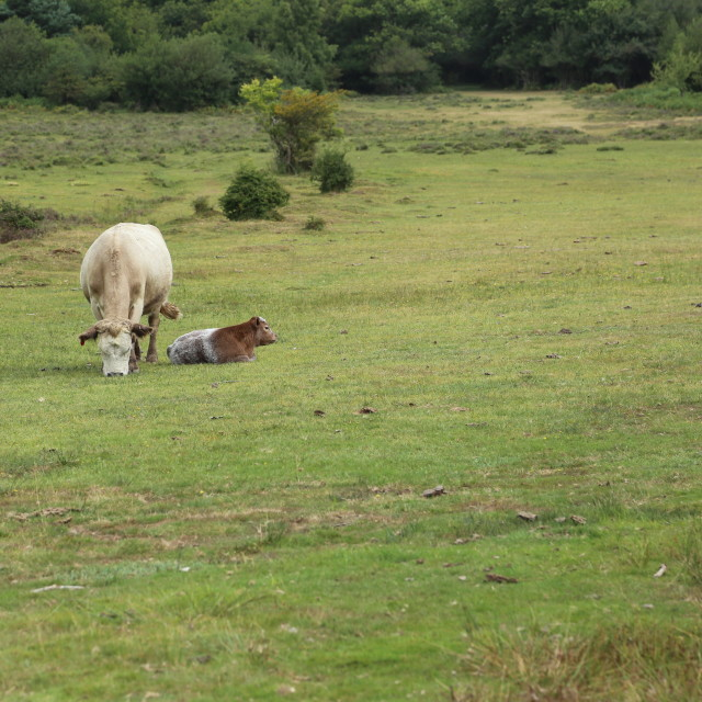 """""""Cow and Calf, New Forest"""" stock image"""