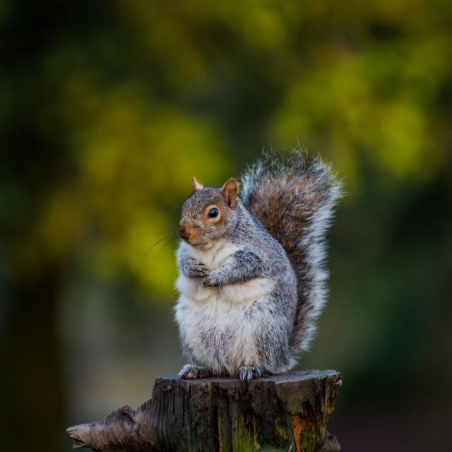 """Squirrel on tree stump"" stock image"