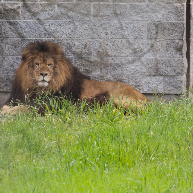 """""""african lion staring"""" stock image"""