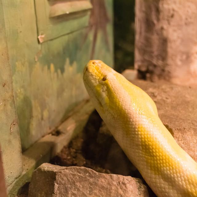 """yellow snake"" stock image"