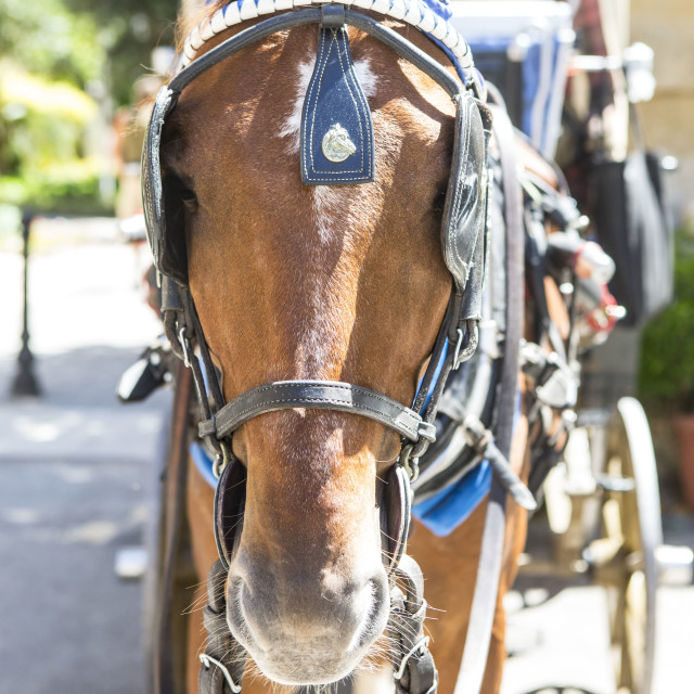 """Horse in Malta"" stock image"