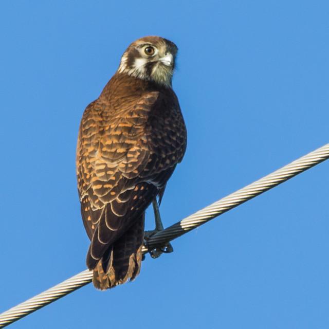 """Australian Brown Falcon (Falco berigora)"" stock image"
