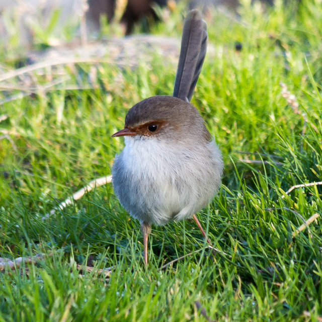"""female Superb Fairy Wren (Malurus cyaneus)"" stock image"