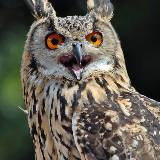 """Siberian Owl"" stock image"