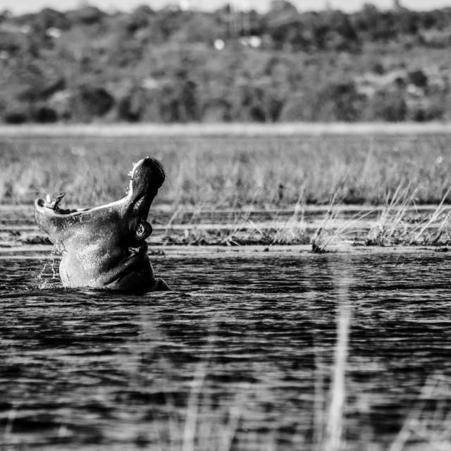 """""""Yawning hippo"""" stock image"""
