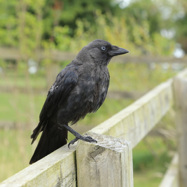 """""""Young Crow on one leg"""" stock image"""