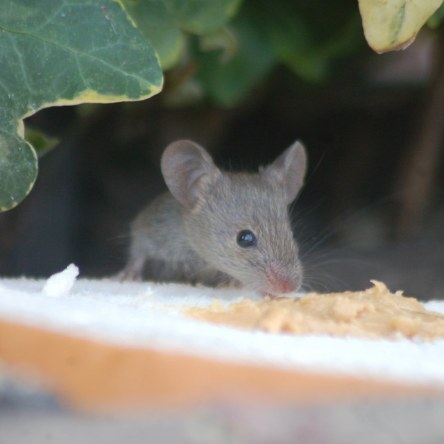 """Cute Baby Mouse"" stock image"