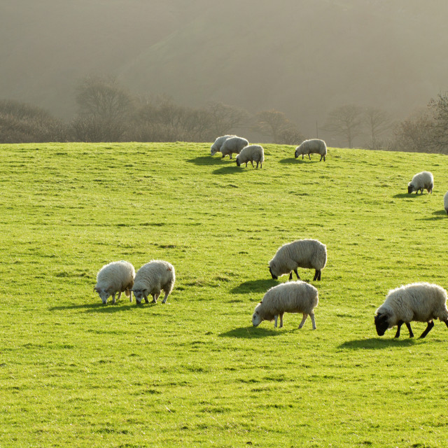 """""""Sheep grazing in a lush green grass field in Wales UK."""" stock image"""