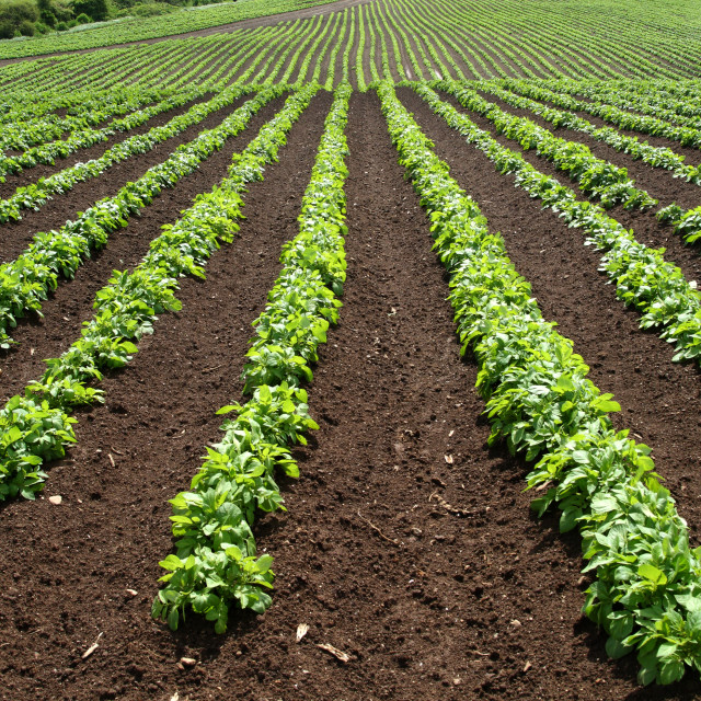 """""""A field of green vegetable crops."""" stock image"""
