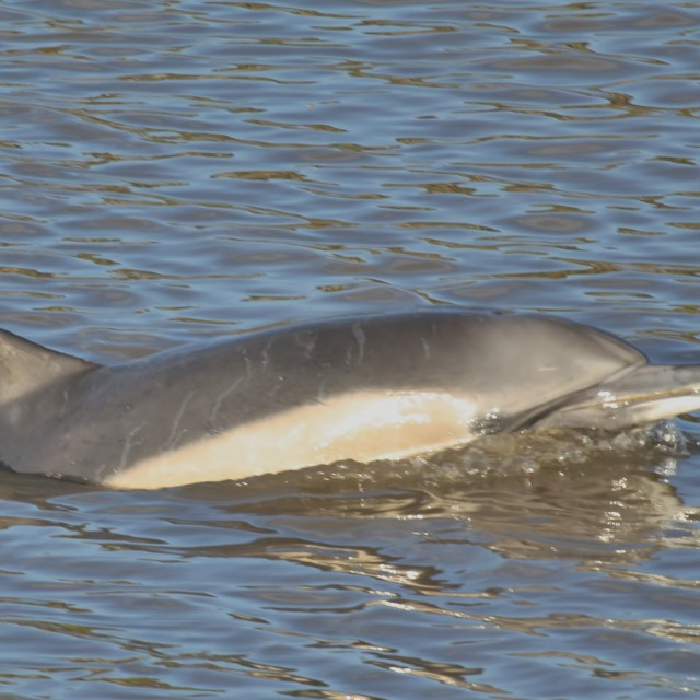 """Common Dolphin, River Dee"" stock image"