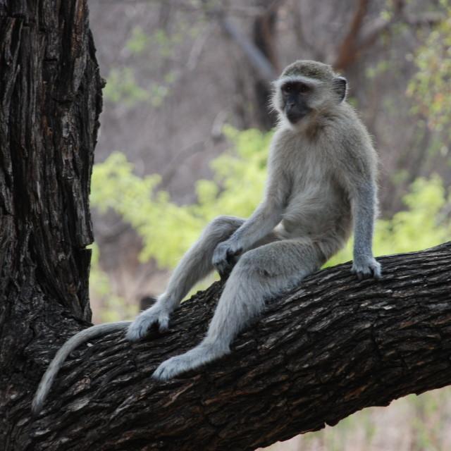 """Lazy Monkey at Victoria Falls"" stock image"
